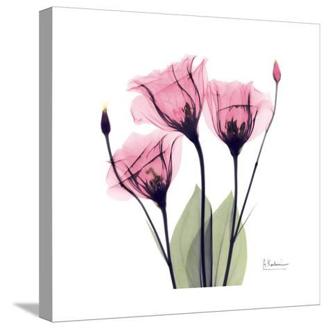 Pink Gentian-Albert Koetsier-Stretched Canvas Print