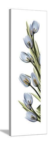 Cascading Tulips-Albert Koetsier-Stretched Canvas Print