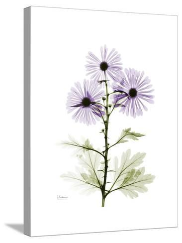 Chrysanthemum Trio-Albert Koetsier-Stretched Canvas Print