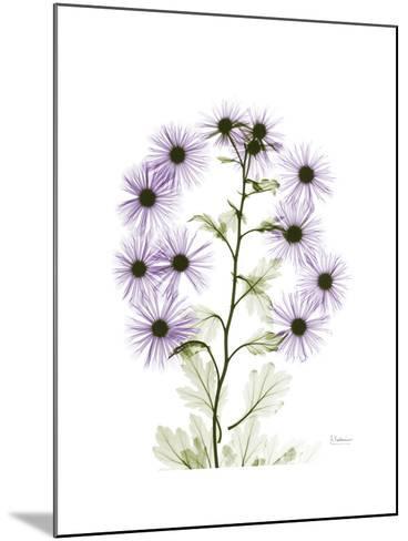 Chrysanthemum Family-Albert Koetsier-Mounted Premium Giclee Print