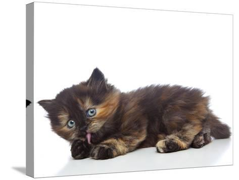 Kittens 030-Andrea Mascitti-Stretched Canvas Print