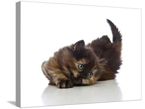 Kittens 032-Andrea Mascitti-Stretched Canvas Print