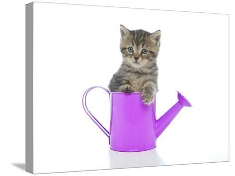 Kittens 035-Andrea Mascitti-Stretched Canvas Print