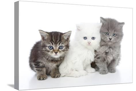 Kittens 006-Andrea Mascitti-Stretched Canvas Print