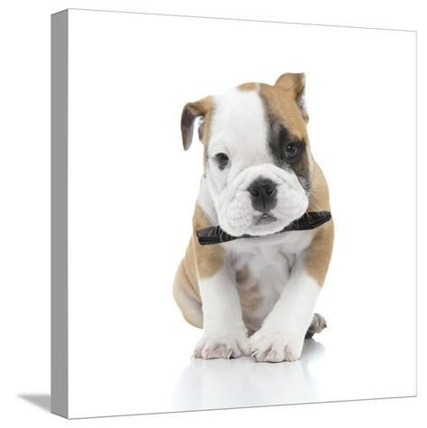 Puppies 021-Andrea Mascitti-Stretched Canvas Print