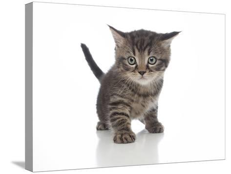 Kittens 013-Andrea Mascitti-Stretched Canvas Print