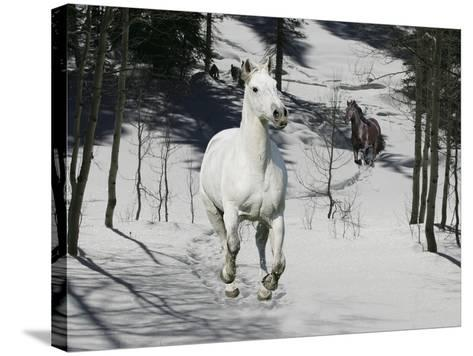 Snow Chase-Bob Langrish-Stretched Canvas Print