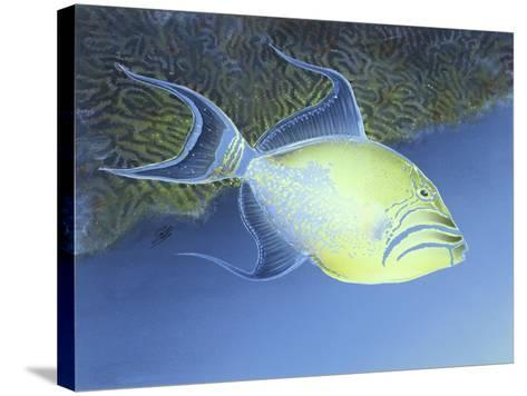 Trigger Fish-Durwood Coffey-Stretched Canvas Print