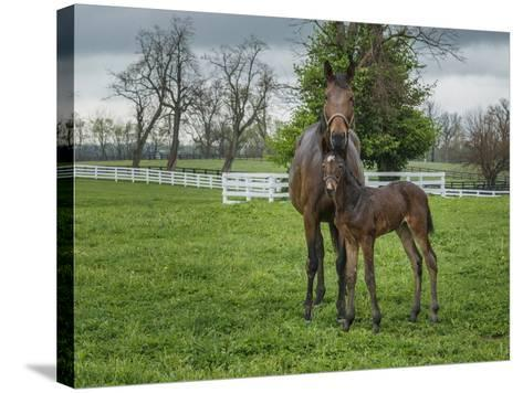 Mare and Foal 2-Galloimages Online-Stretched Canvas Print