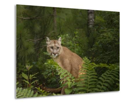 Mountain Lion with Ferns-Galloimages Online-Metal Print