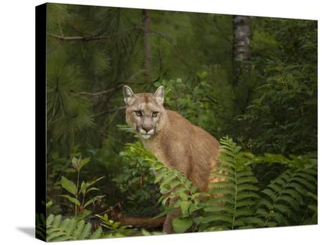 Mountain Lion with Ferns-Galloimages Online-Stretched Canvas Print