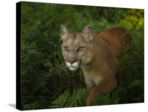 Mountain Lion on the Prowl-Galloimages Online-Stretched Canvas Print