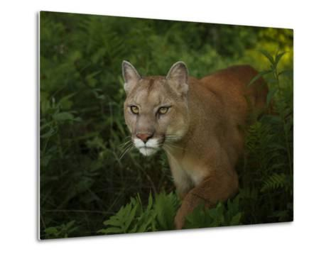 Mountain Lion on the Prowl-Galloimages Online-Metal Print