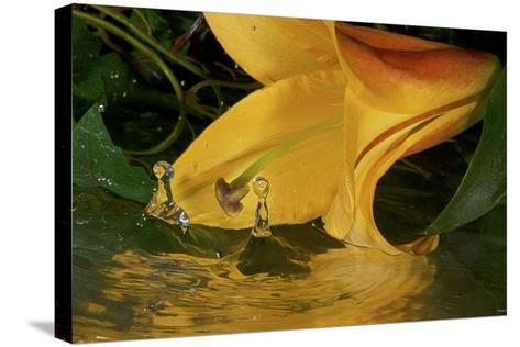 Yellow Lily-Gordon Semmens-Stretched Canvas Print