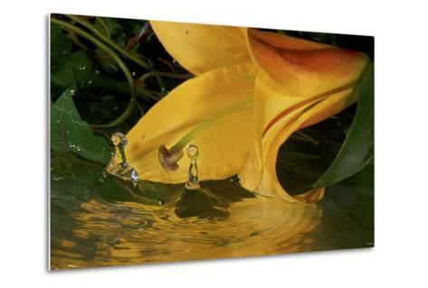 Yellow Lily-Gordon Semmens-Metal Print