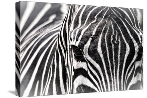 Zebra-Gordon Semmens-Stretched Canvas Print