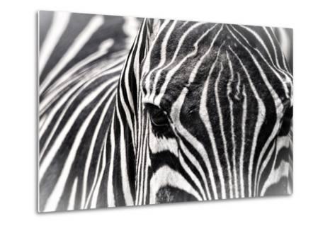 Zebra-Gordon Semmens-Metal Print