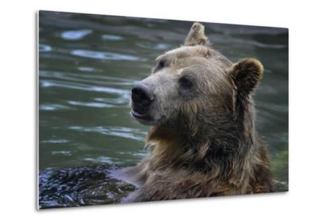 Bear-Gordon Semmens-Metal Print