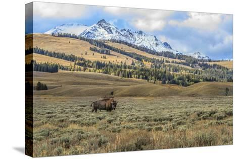 Bison by Electric Peak (YNP)-Galloimages Online-Stretched Canvas Print