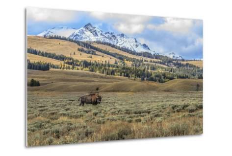 Bison by Electric Peak (YNP)-Galloimages Online-Metal Print