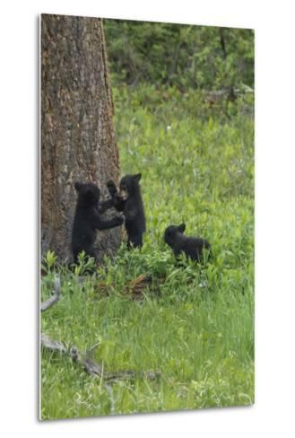 Black Bear Cubs-Galloimages Online-Metal Print