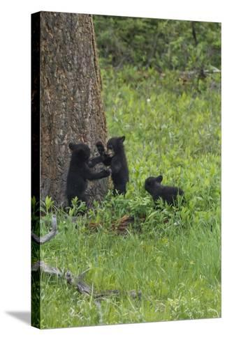Black Bear Cubs-Galloimages Online-Stretched Canvas Print