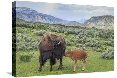 Bison and Calf (YNP)-Galloimages Online-Stretched Canvas Print