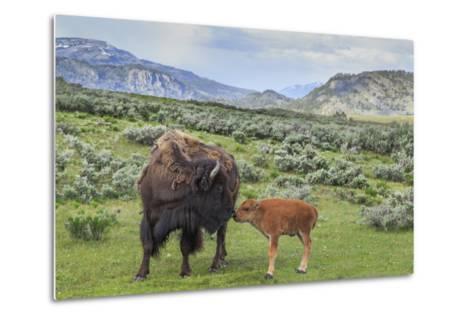 Bison and Calf (YNP)-Galloimages Online-Metal Print