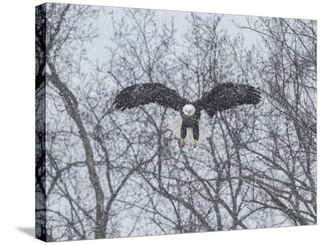 Snowy Eagle-Galloimages Online-Stretched Canvas Print