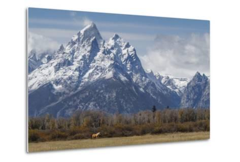 A Horse in Front of the Grand Teton-Galloimages Online-Metal Print