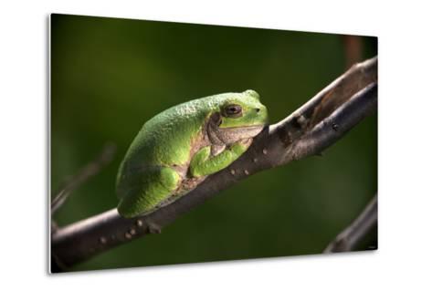 Frog-Gordon Semmens-Metal Print