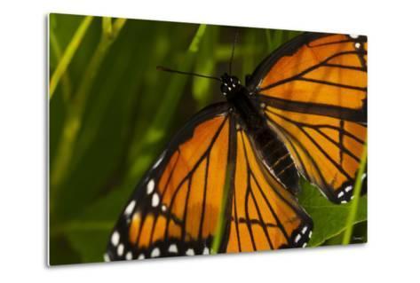 Monarch Butterfly-Gordon Semmens-Metal Print