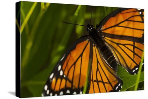 Monarch Butterfly-Gordon Semmens-Stretched Canvas Print
