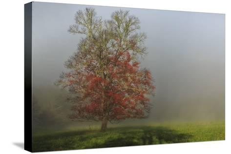Cades Cove Tree-Galloimages Online-Stretched Canvas Print