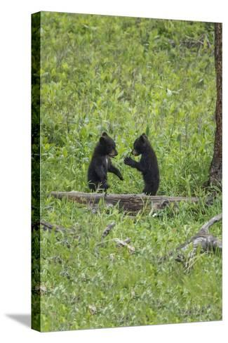 Black Bear Cubs (YNP)-Galloimages Online-Stretched Canvas Print
