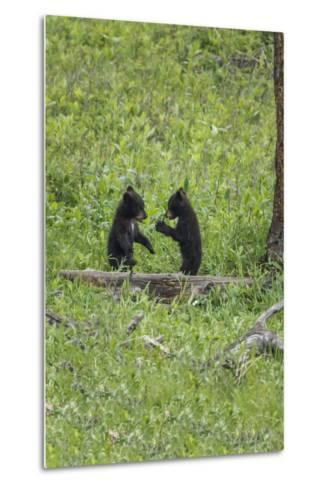 Black Bear Cubs (YNP)-Galloimages Online-Metal Print