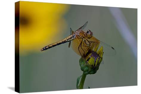 Dragonfly-Gordon Semmens-Stretched Canvas Print