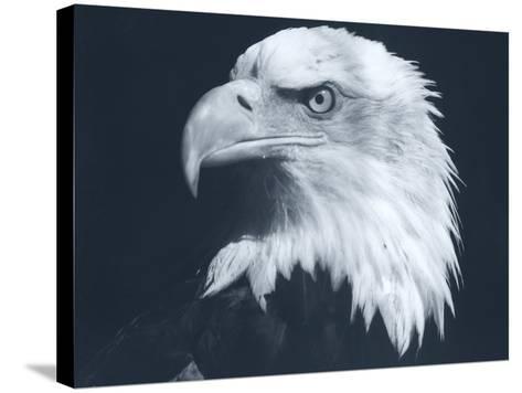 Bald Eagle 3-Gordon Semmens-Stretched Canvas Print