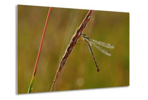 Dragonfly-Gordon Semmens-Metal Print