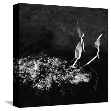 Plants and Water-Harold Silverman-Stretched Canvas Print