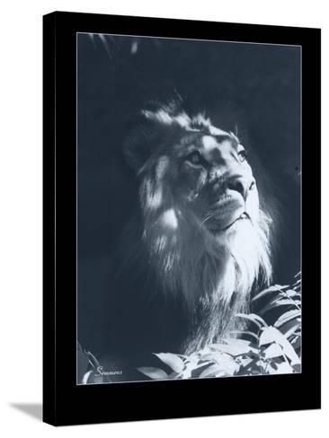 Lion-Gordon Semmens-Stretched Canvas Print