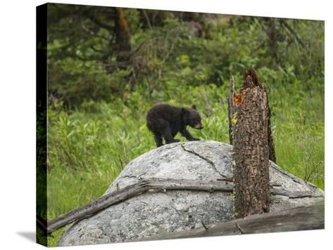 Bear Cub on Rock-Galloimages Online-Stretched Canvas Print