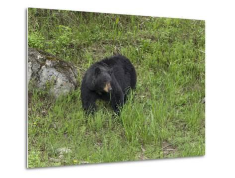 Black Bear (YNP)-Galloimages Online-Metal Print