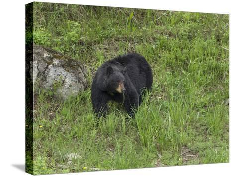 Black Bear (YNP)-Galloimages Online-Stretched Canvas Print