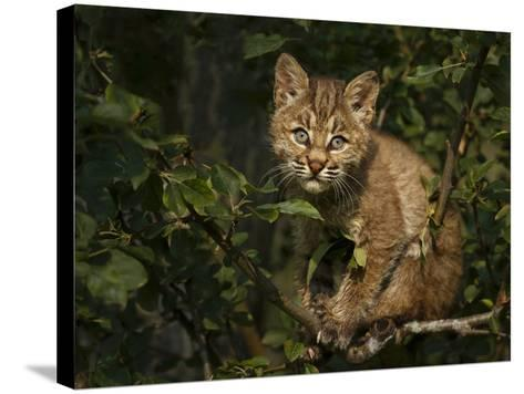 Bobcat Kitten on Branch-Galloimages Online-Stretched Canvas Print