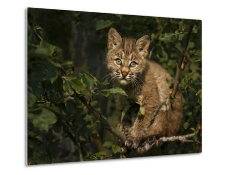 Bobcat Kitten on Branch-Galloimages Online-Metal Print