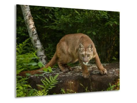 About to Pounce-Galloimages Online-Metal Print