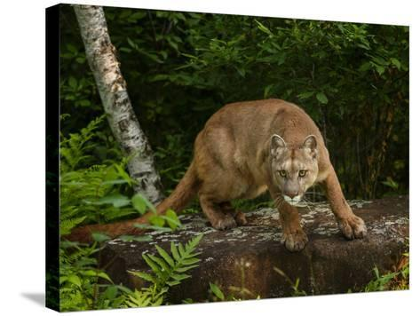 About to Pounce-Galloimages Online-Stretched Canvas Print