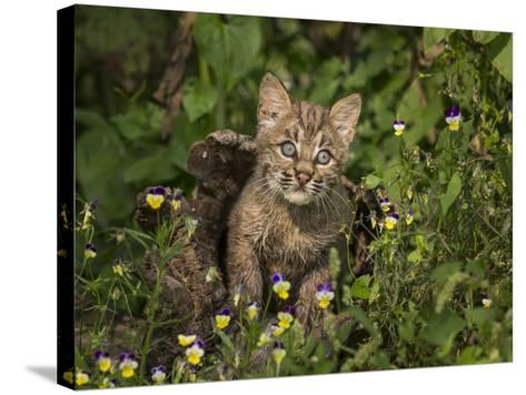 Bobcat Kitten in Wildflowers-Galloimages Online-Stretched Canvas Print