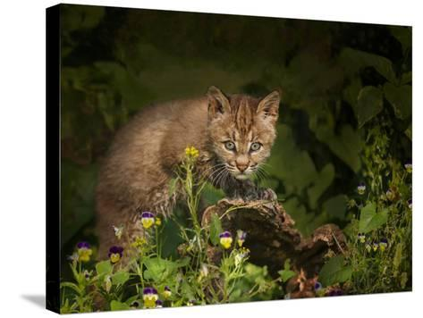 Bobcat Kitten Poses on Log-Galloimages Online-Stretched Canvas Print